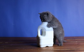 Picture cat, kitty, grey, Board, food, baby, milk, canister, kitty, blue background, stand, British, want, and …