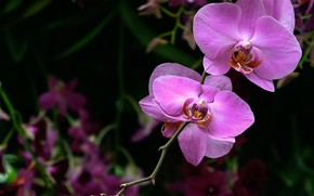 Picture macro, pink, Orchid