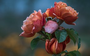 Picture leaves, flowers, background, Bush, roses, orange, buds