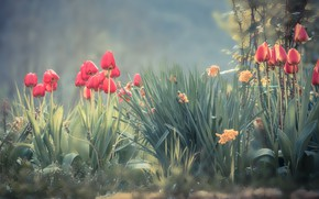 Picture flowers, spring, garden, tulips, red, haze, flowerbed