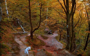 Picture Autumn, Trees, Forest, Trail, Dog, Fall, Autumn, Forest, Trees, The West highland white Terrier