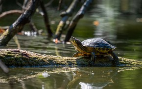 Picture branches, reflection, turtle, log, pond, water, water turtle, red