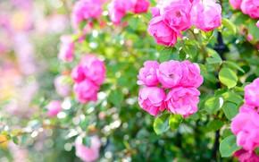 Picture greens, leaves, light, pink, Bush, roses, garden, pink, bokeh, roses
