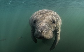 Picture sea, look, face, water, underwater world, under water, swimming, manatee
