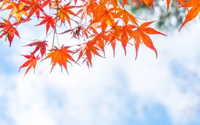Picture autumn, leaves, colorful, maple, autumn, leaves, autumn, maple