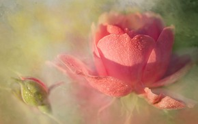 Picture drops, light, rose