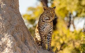 Picture autumn, tree, foliage, leopard, sitting, yellow background, bokeh