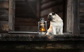 Picture dog, lantern, pug, doggie, Svetlana Pisareva