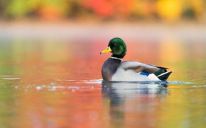 Picture water, bird, duck, pond, wild, swimming, colorful background