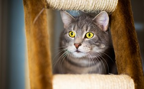 Wallpaper cat, cat, mustache, look, face, grey, background, portrait, striped, handsome, yellow eyes, scratching post