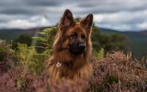 Picture face, dog, Heather, German shepherd