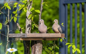 Picture greens, birds, branches, tree, foliage, the fence, two, dove, pair, pigeons, a couple, Duo, boards, …