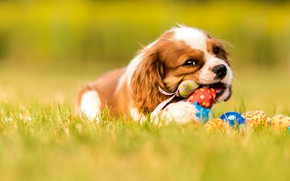 Picture grass, look, nature, pose, glade, toy, dog, baby, puppy, lies, face, bokeh, cavalier, cavalier-king-Charles-Spaniel