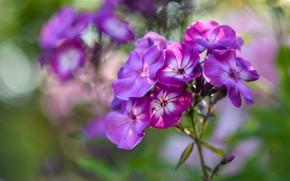 Picture summer, flowers, pink, bokeh, Phlox