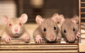 Picture look, background, cell, mouse, mouse, three, rats, rods, company, grey, mouse, trio, mouse, rat, faces, …