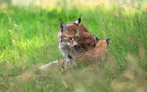 Picture grass, nature, kitty, two, baby, kitty, lynx, cub, lynx, mother, a small lynx, a small ...