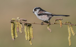 Picture sprig, bird, earrings, long-tailed tit