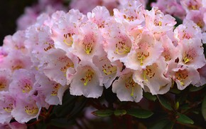 Picture flowers, pink, a lot, Azalea, rhododendrons