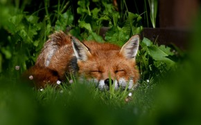 Picture grass, face, sleep, Fox, red, sleeping