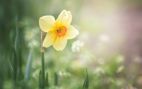 Picture flower, macro, nature, spring, Narcissus