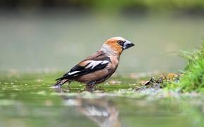 Picture bird, river, bokeh, Grosbeak