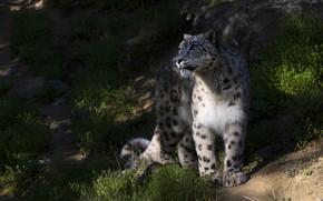Picture light, nature, the dark background, shadows, IRBIS, snow leopard, sitting