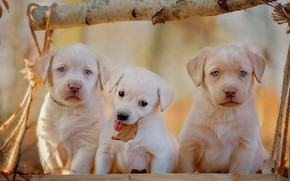 Picture autumn, dogs, background, leaf, dog, rope, light, puppies, small, puppy, Board, white, blue eyes, kids, …