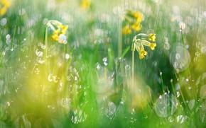 Picture greens, spring, primrose, bokeh