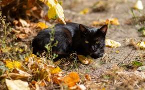 Picture autumn, cat, cat, look, face, leaves, light, black, lies, bokeh