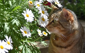 Picture cat, summer, cat, face, flowers, grey, portrait, chamomile, bouquet, garden, white, striped