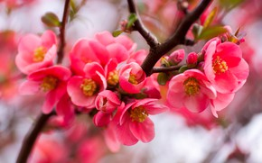 Picture flowers, branches, blur, spring, red, flowering, bokeh, quince, in bloom, fruit tree