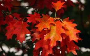 Picture autumn, light, branches, red, maple, bokeh, autumn leaves