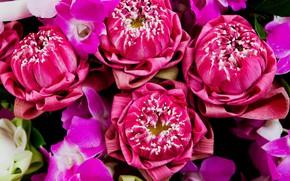 Picture flowers, pink, Lotus, pink, flowers, lotus