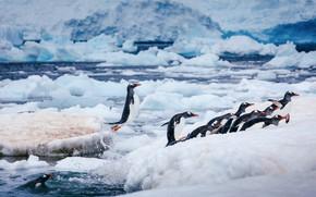 Picture winter, sea, water, snow, birds, nature, jump, shore, ice, penguins, glacier, bathing, penguin, ice, pond, …