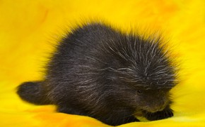 Picture animal, porcupine, Porcupin