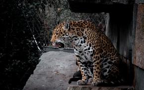Picture language, stones, Jaguar, sitting
