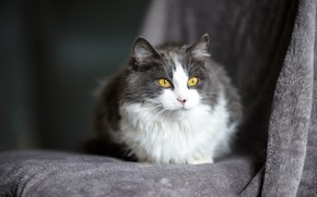 Picture cat, cat, look, muzzle, grey, yellow eyes, fluffy, smoky