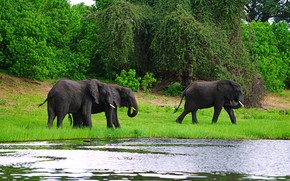 Picture greens, grass, trees, nature, river, shore, elephants