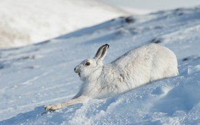 Picture winter, face, snow, hare, running, profile, Bunny