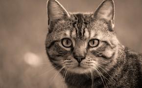 Picture cat, cat, look, face, grey, background, portrait, Sepia, striped, monochrome