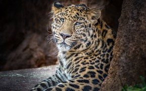 Picture predator, leopard, handsome