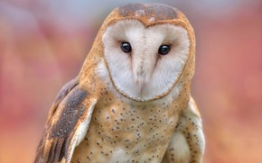 Picture eyes, look, background, owl, bird, portrait, the barn owl