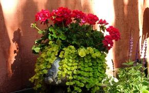Picture background, geranium, red flowers
