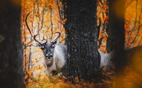 Picture FOREST, TRUNK, TREES, BARK, HORNS, AUTUMN, FOLIAGE, DEER