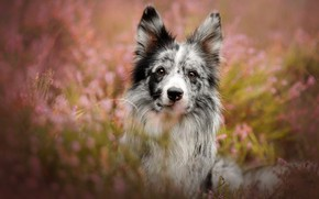 Picture look, face, flowers, glade, portrait, dog, pink background, bokeh, the border collie, motley