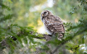 Picture look, branches, nature, owl, bird, bokeh, owl
