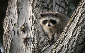 Picture tree, raccoon, cub