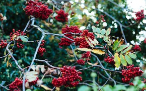Picture autumn, leaves, branches, berries, tree, blur, fruit, red, Rowan, bunches, bokeh, bunches of Rowan