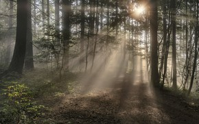 Picture forest, summer, the sun, rays, light, trees, branches, fog, dawn, trunks, morning, Germany