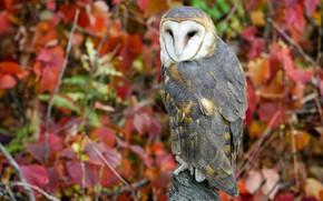Picture autumn, owl, bird, foliage, the barn owl, autumn leaves